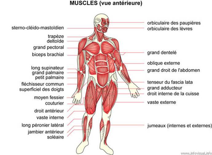 muscles étirés au niveau cage thoracique